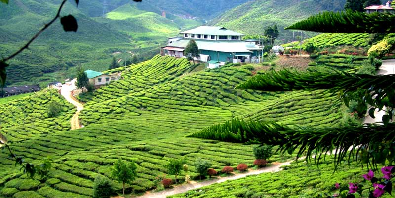 Cameron Valley - Bharat Tea Plantations, Cameron Highlands